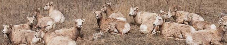 Sheep laying down
