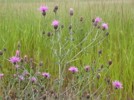 Spotted Knapweed2