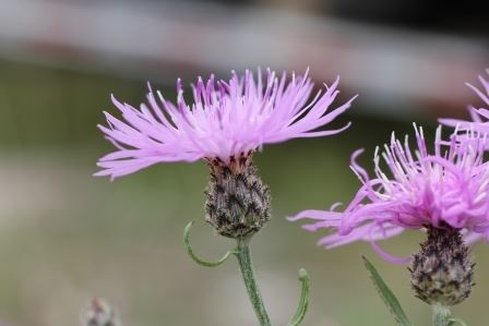 Spotted Knapweed5